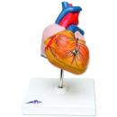 Heart model [learning tool]