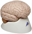Brain model [learning tool]