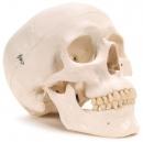 Human skull model [learning tool]